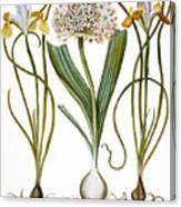 Leek And Irises, 1613 Canvas Print