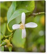 Lemon Blossoms 1 Canvas Print