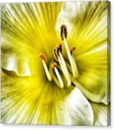 Lemon Cream Daylilly Canvas Print
