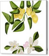 Lemons and Lemon Blossoms Canvas Print