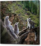 Lemur Family Canvas Print