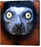 Lemur Glare Canvas Print