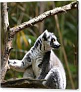Lemur Love Canvas Print