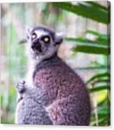Lemur's Gaze Canvas Print