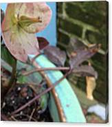 Lenten Rose After An April Shower Canvas Print