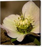 Lenten Rose Canvas Print