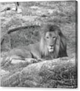 Leo The Lion..... Canvas Print