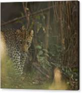 Leopard Comes Out Of The Bush Canvas Print