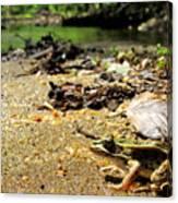 Leopard Frog Landing Canvas Print