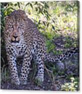 Leopard Front Canvas Print
