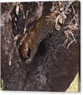 Leopard In Tree Canvas Print