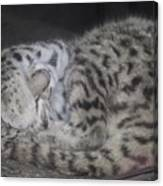 Leopard Kitten Canvas Print