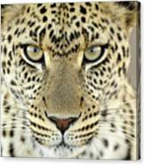 Leopard Panthera Pardus Female Canvas Print