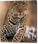Leopard Panthera Pardus, Masai Mara Canvas Print