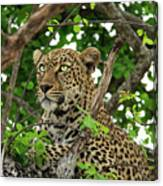 Leopard With Piercing Eyes Canvas Print