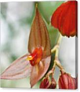 Lepanthes Maduroi Orchid Canvas Print