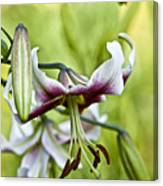 Leslie Woodriffe Lily 2 Canvas Print