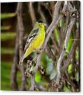 Lesser Goldfinch H57 Canvas Print