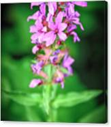 Lesser Purple Fringed Orchid Canvas Print