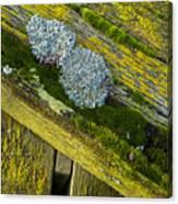 Lichen On Wood. Canvas Print
