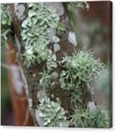 Lichens 4 Canvas Print