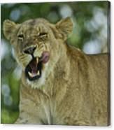 Licking Lion Canvas Print