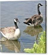 Life Is Good For Canadian Geese Canvas Print