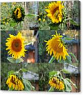 Life Of A Sunflower Canvas Print