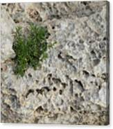 Life On Bare Rock - Pockmarked Limestone And Thyme Canvas Print