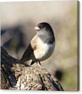 Light And Dark Of A Junco Canvas Print