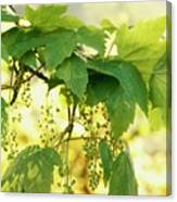 Light And Leafy Canvas Print