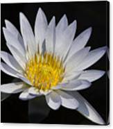 Light Blue Water Lily Canvas Print