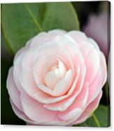 Light Pink Camellia Flower Canvas Print