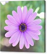 Light Purple Gazania Macro 1  Canvas Print