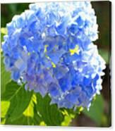 Light Through Blue Hydrangeas Canvas Print
