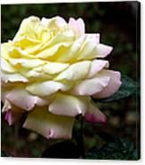 Light Yellow Rose 2 Canvas Print