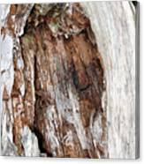 Lightning Damage In An Old Cypress Tree Canvas Print