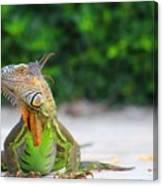 Lil Iguana Canvas Print