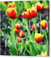 Lil Tulips Canvas Print