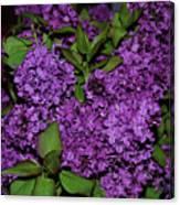 Lilac Canvas Print