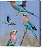 Lilac-breasted Roller Collage Canvas Print