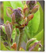 Lilac Buds Canvas Print