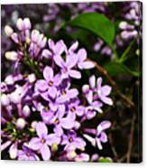 Lilac Bush In Spring Canvas Print
