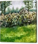 Lilac Bushes In Springtime Canvas Print