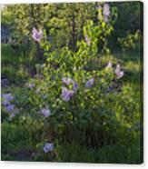 Lilac In Sunshine Canvas Print