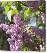 Lilacs 5545 Canvas Print