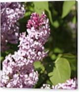 Lilacs 5552 Canvas Print