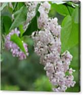 Lilacs In The Rain 6 Canvas Print