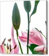 Pink Oriental Starfire Lilies Canvas Print