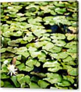 Lilies Of The Water Viii Canvas Print